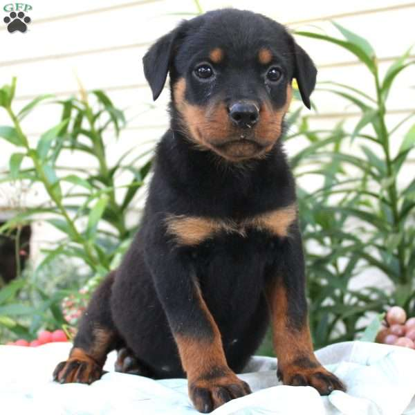 Cora Rottweiler Puppy For Sale In Pennsylvania Ttcricketboard