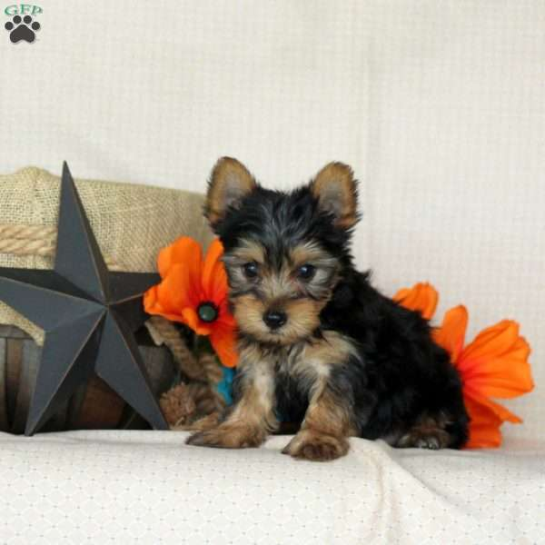 Jebby, Yorkshire Terrier Puppy