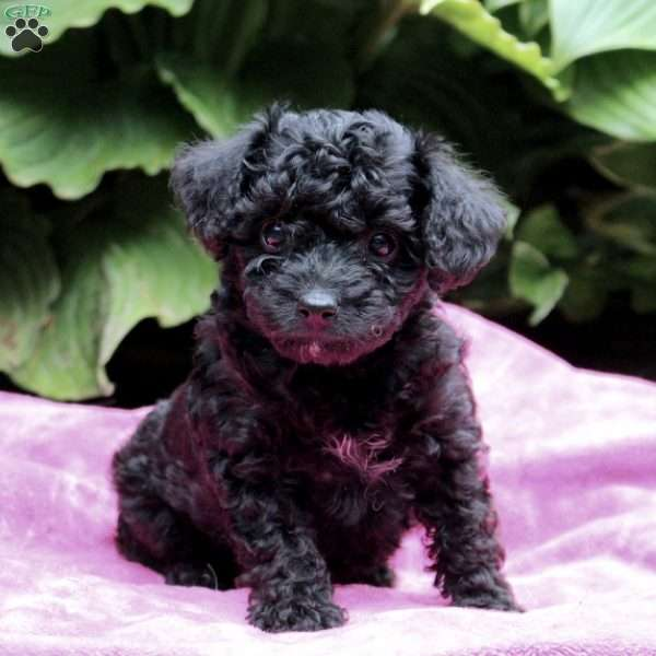 Licorice, Yorkie-Poo Puppy