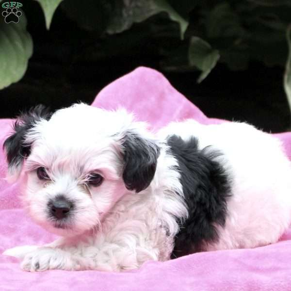 Haircuts For Yorkie Poo Puppies An