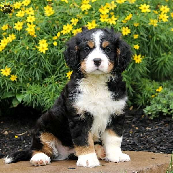 Paxton Miniature Bernese Mountain Dog Puppy For Sale In