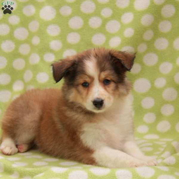Sierra Miniature Collie Mix Puppy For Sale In Pennsylvania