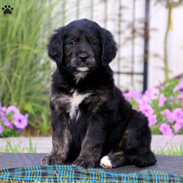 Supreme Bernese Golden Mountain Dog Puppy For Sale In
