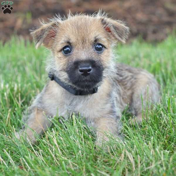 Tammy - Cairn Terrier Puppy For Sale in Ohio