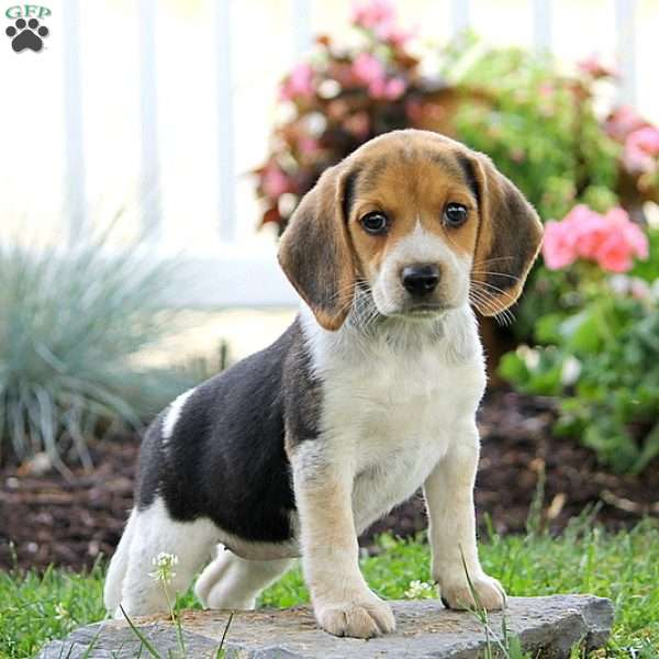 tanya beagle puppy for sale in pennsylvania