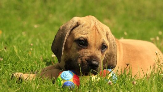 4 Things to Know About African Boerboel Puppies