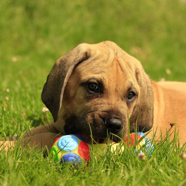 african boerboel puppy lying in grass with a toy