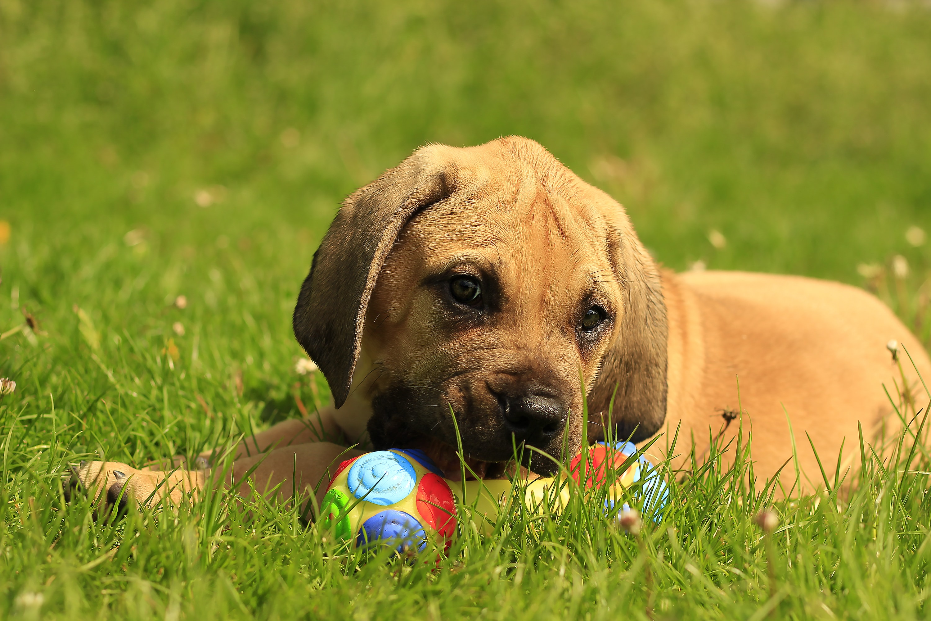 4 Things to Know About African Boerboel Puppies   Greenfield Puppies