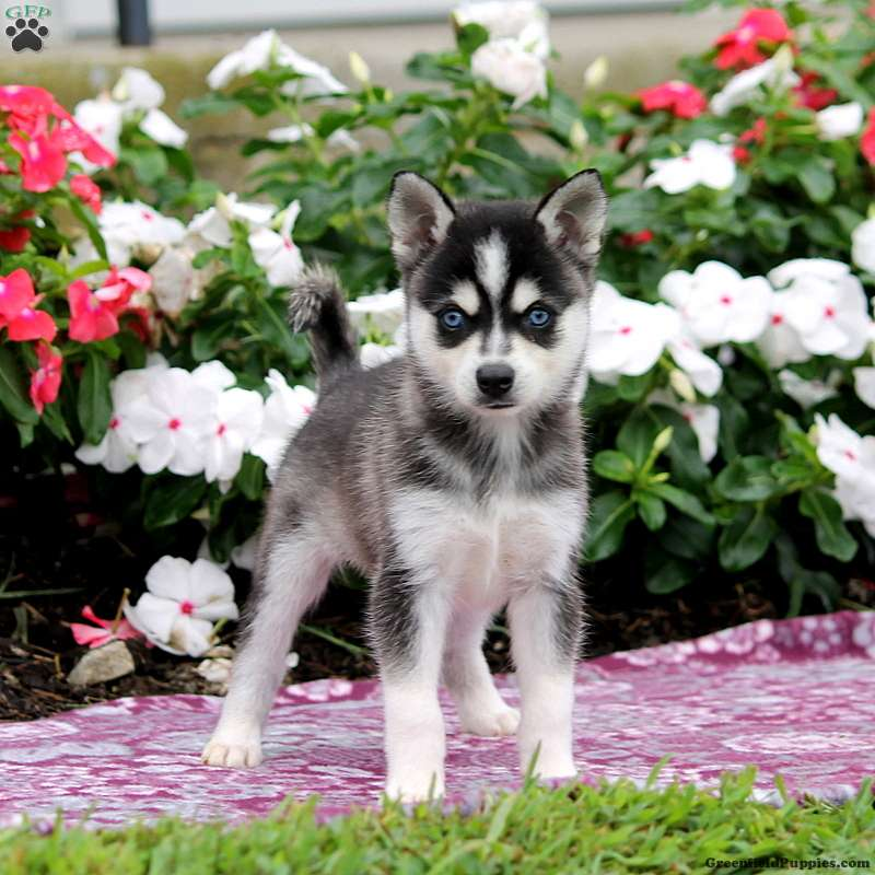 Alaskan Klee Kai Puppies For Sale Greenfield Puppies