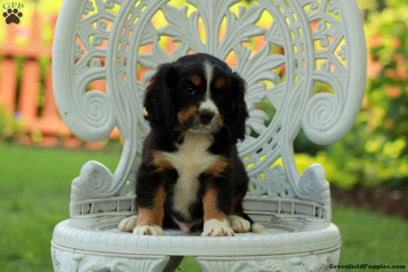 Alfie Miniature Bernese Mountain Dog Puppy For Sale In Pennsylvania
