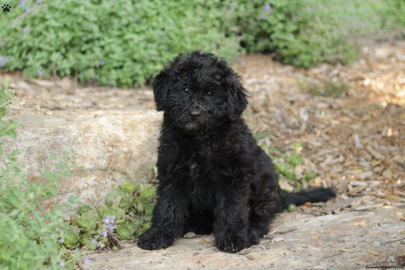 Bear Miniature Aussiedoodle Puppy For Sale In Pennsylvania