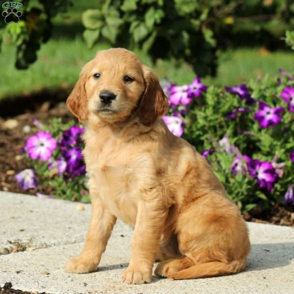 Bell Golden Retriever Mix Puppy For Sale In Pennsylvania