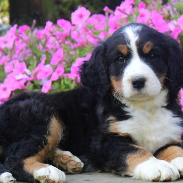 Bernese Springer Spaniel Puppies For Sale Greenfield Puppies