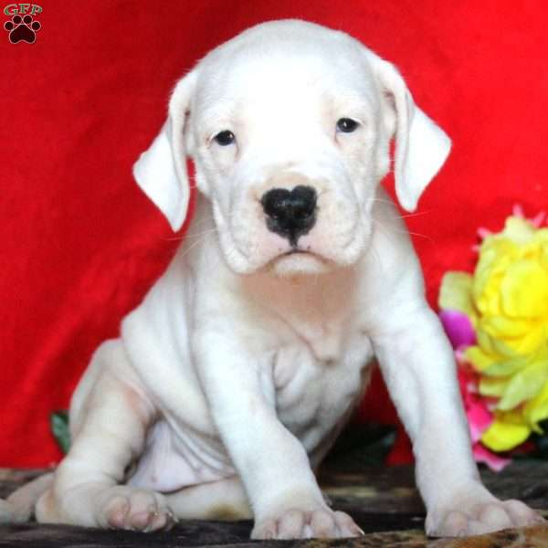 Betty - Dogo Argentino Puppy For Sale in Pennsylvania