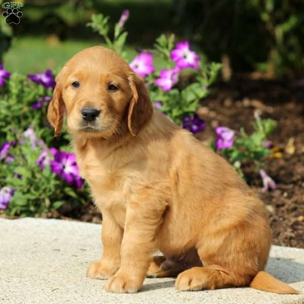 Bruxy Golden Retriever Mix Puppy For Sale In Pennsylvania