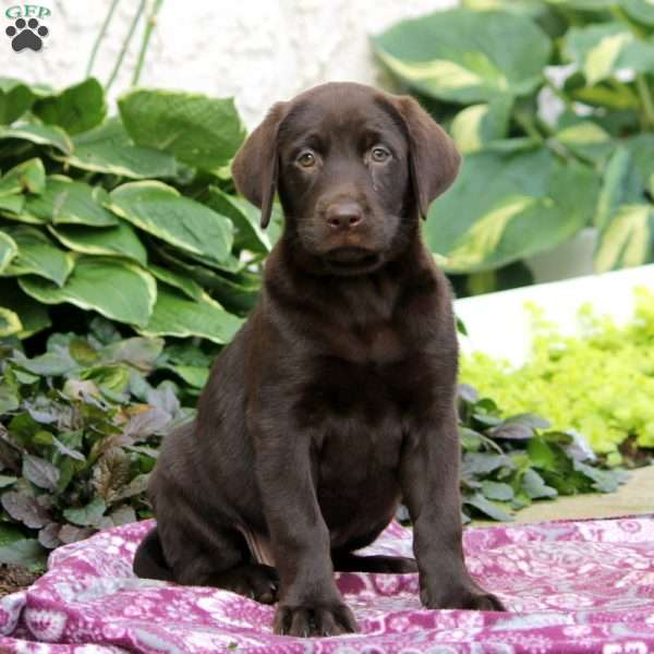 Cambria, Chocolate Labrador Retriever Puppy