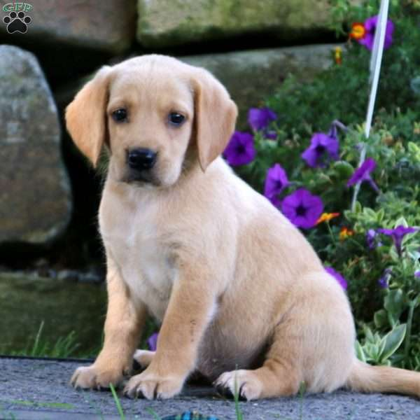Carla Golden Retriever Mix Puppy For Sale In Pennsylvania