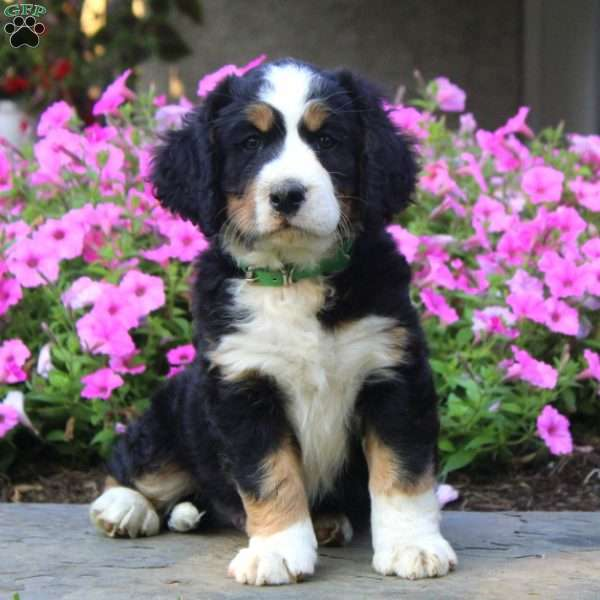 Craig - Bernese Springer Spaniel Puppy For Sale in Pennsylvania