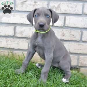 great dane puppies for sale greenfield puppies