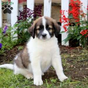 Pomeranian Australian Shepherd Mix Google Search Pups N Stuff