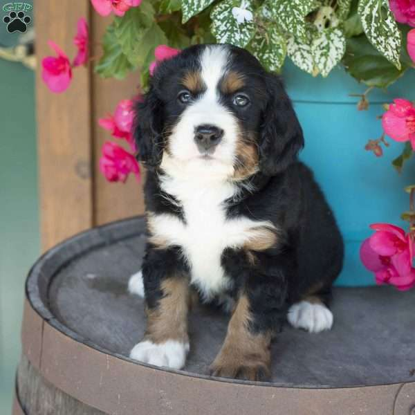 Evan Miniature Bernese Mountain Dog Puppy For Sale In Ohio