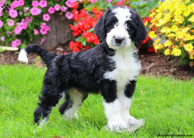 Greater Swiss Mountain Doodle Puppies For Sale Greenfield