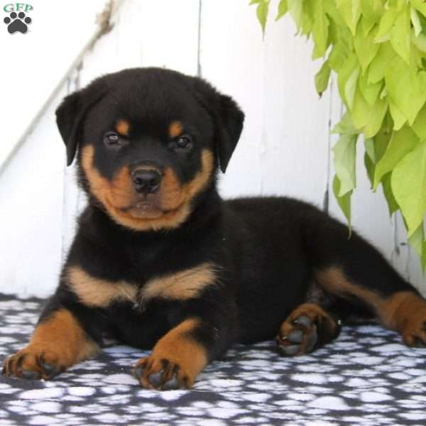 Indiana Rottweiler Puppy For Sale In Pennsylvania