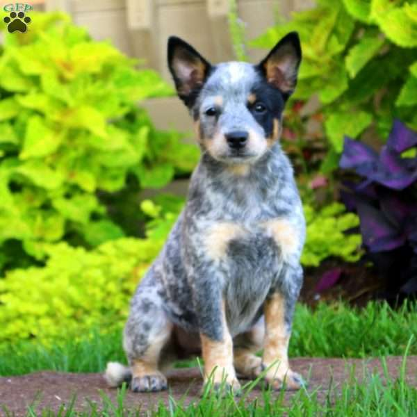 Australian Cattle Dog Puppies Pa