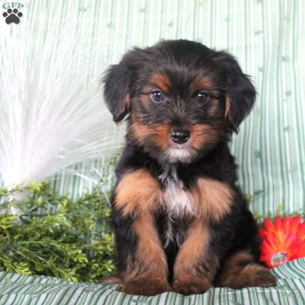 Mark – Black & Brown w/ White Stripe, Yorkie-Poo Puppy