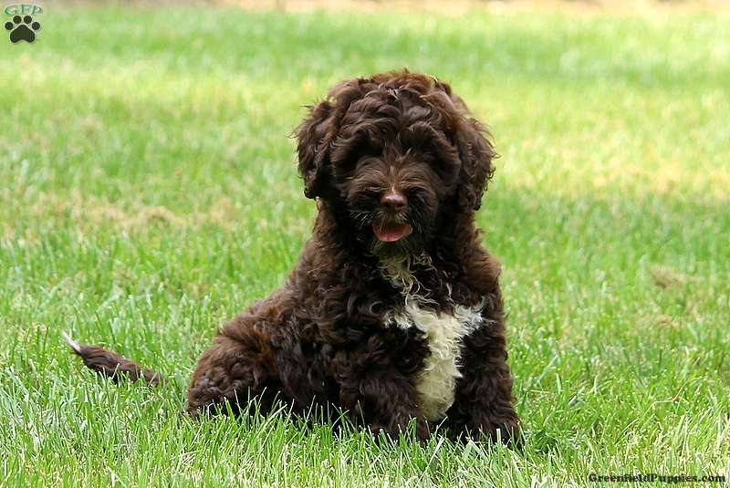 Portuguese Water Dog Puppies Texas