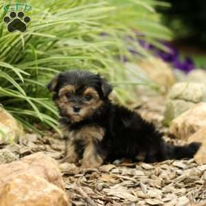 Morkie Yorktese Puppies For Sale Greenfield Puppies