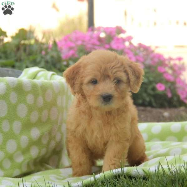 Starlight Mini Golden Mountain Doodle Puppy For Sale In