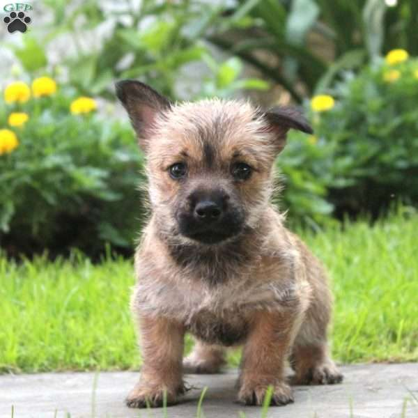 Stella - Cairn Terrier Puppy For Sale in Pennsylvania