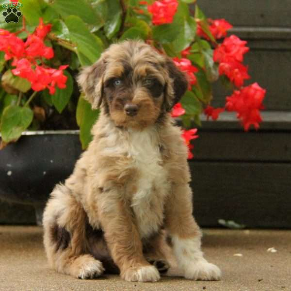 Toffee, Aussiedoodle Puppy