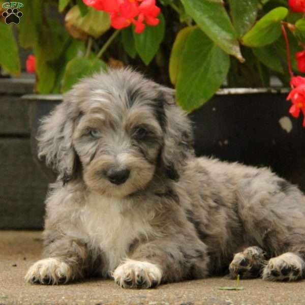 Trooper, Aussiedoodle Puppy