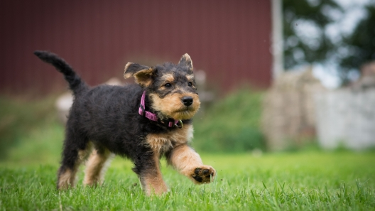 4 Things to Know About Airedale Terrier Puppies