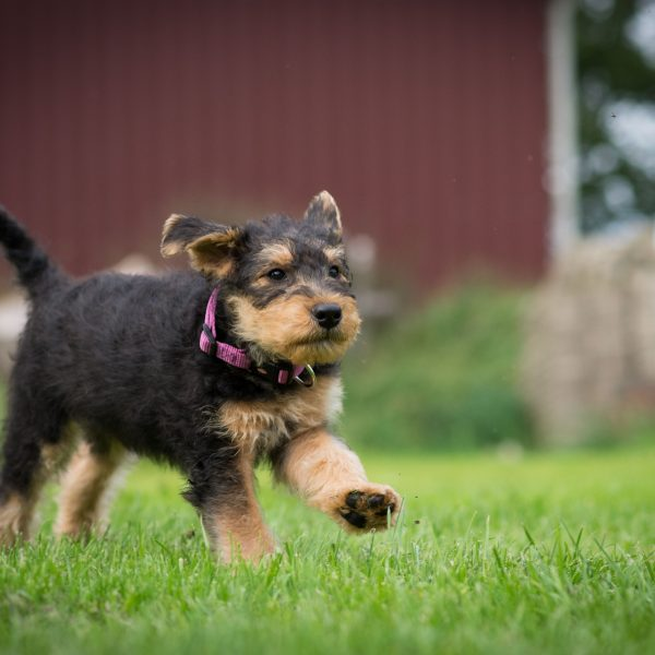 airedale terrier puppy running in the grass