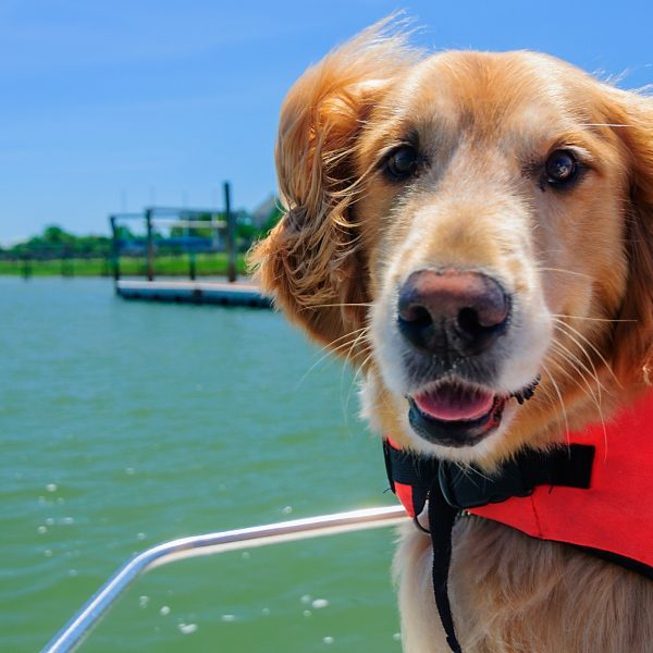 closeup of a golden retriever wearing a life jacket on a boat