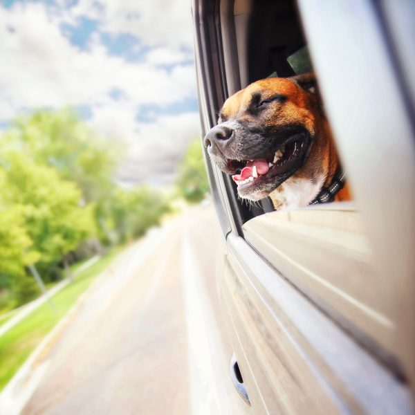 georgia dog-friendly travel guide - boxer pit bull mix with head out of car window