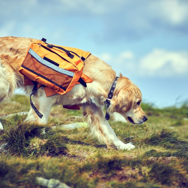 golden retriever wearing a dog backpack