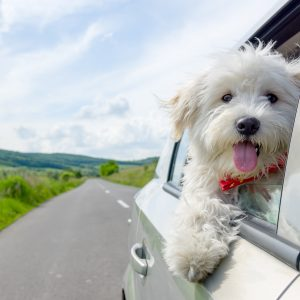 illinois dog-friendly travel guide - bichon frise looking out car window