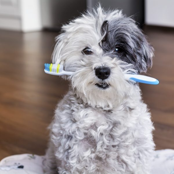 poodle dog with tootbrush in mouth