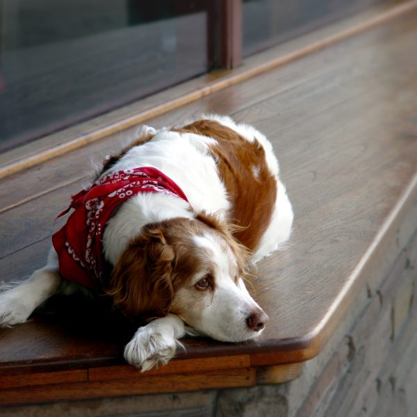 spaniel dog lying down and looking a little sad