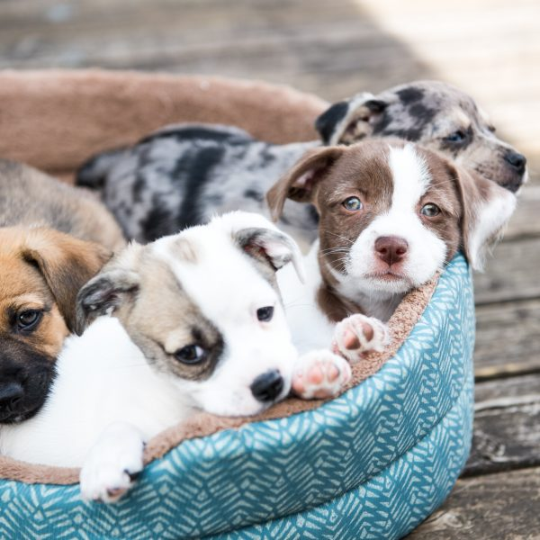 4 terrier mix puppies sharing a dog bed
