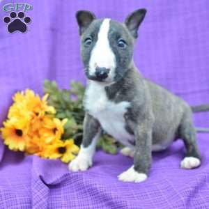 Bull Terrier Puppies For Sale Bull Terrier Dog Breed Info