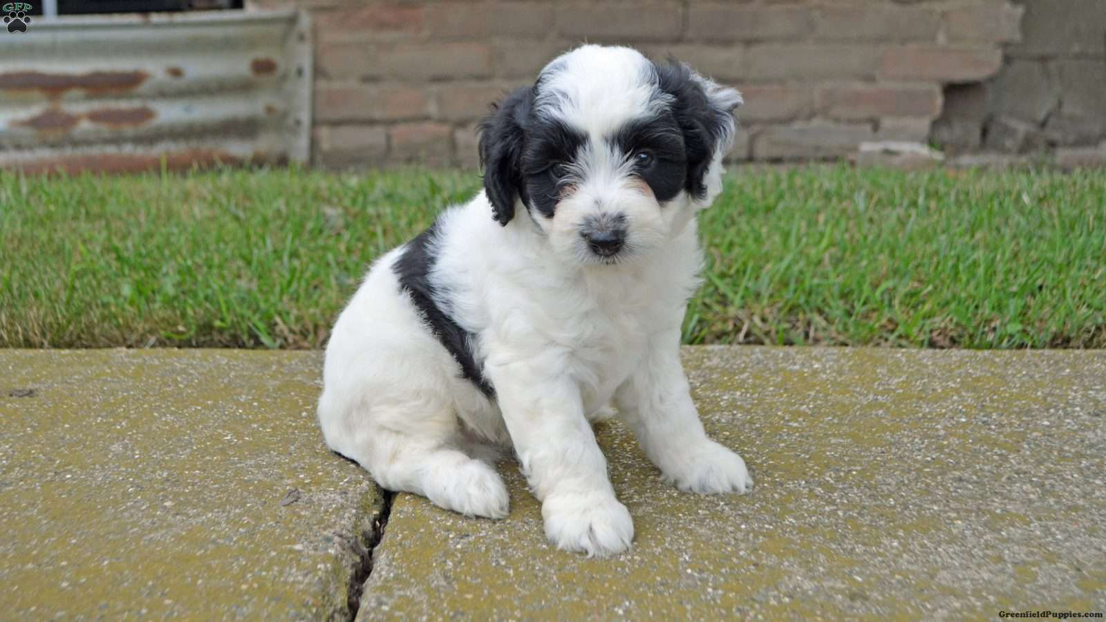 Berkeley Miniature Aussiedoodle Puppy For Sale In Illinois