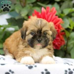 Shih Tzu Mix Puppies For Sale Greenfield Puppies