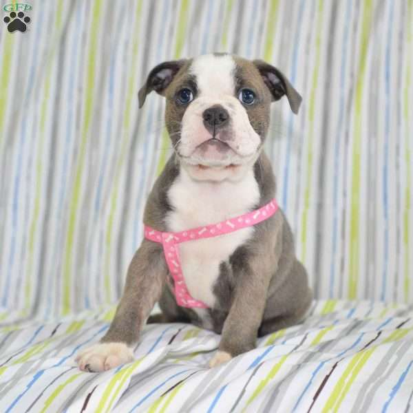 Blue Bell English Boston Bulldog Puppy For Sale In Ohio