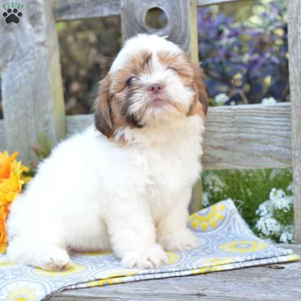 Daisy Shih Tzu Puppy For Sale In Ohio