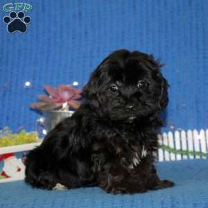 Yorkie Poo Puppies For Sale Yorkie Poo Breed Info Greenfield Puppies